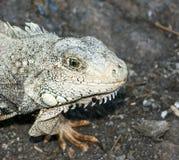 Iguana de la pista en Ecuador Fotos de archivo