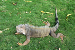 Iguana de la pista en Guayaquil, Ecuador Fotos de archivo