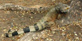 Iguana de la pista por el árbol en Ecuador Fotos de archivo