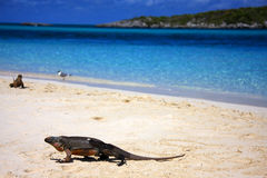 Iguana de la playa Fotos de archivo libres de regalías