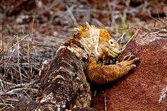Iguana de la tierra de las Islas Galápagos Imágenes de archivo libres de regalías