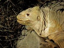 Iguana de la tierra de los pagos del ¡de Galà Fotografía de archivo libre de regalías