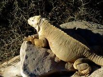 Iguana de la tierra de los pagos del ¡de Galà Fotos de archivo libres de regalías