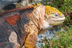 Iguana de la tierra en Isla Plaza Sur, las Islas Galápagos, Ecuador Imágenes de archivo libres de regalías