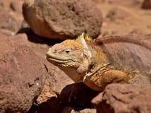Iguana de la tierra en las islas de las Islas Galápagos Foto de archivo