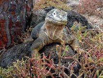 Iguana de las Islas Gal3apagos Imagenes de archivo