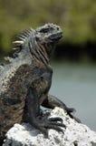 Iguana de las Islas Gal3apagos Imágenes de archivo libres de regalías