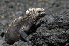 Iguana de las Islas Gal3apagos Foto de archivo libre de regalías