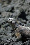 Iguana de las Islas Gal3apagos Fotos de archivo