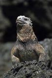 Iguana de las Islas Gal3apagos Foto de archivo