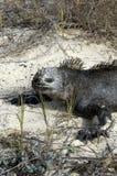 Iguana de las Islas Gal3apagos Fotografía de archivo