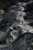 Iguana de las Islas Gal3apagos Fotografía de archivo libre de regalías