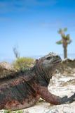 Iguana de marina Imagen de archivo libre de regalías