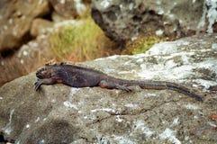 Iguana de marina de las Islas Gal3apagos Imágenes de archivo libres de regalías