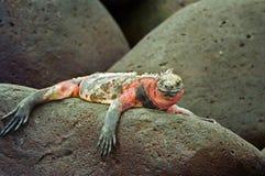 Iguana de marina de las Islas Gal3apagos Fotos de archivo