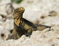 Iguana de oro Fotografía de archivo libre de regalías