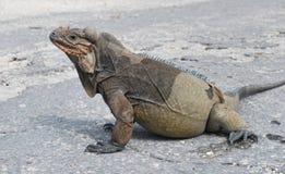 Iguana de Rhinocerous Imagem de Stock Royalty Free
