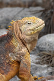 Iguana de sorriso Imagem de Stock