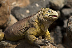 Iguana de sorriso Fotos de Stock Royalty Free