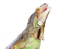 Iguana de sorriso no branco isolado Fotos de Stock Royalty Free