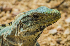 Iguana de Spinytail Fotografia de Stock Royalty Free