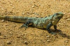 Iguana de Spinytail Imagem de Stock