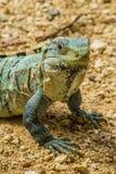 Iguana de Spinytail Imagens de Stock