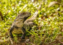 Iguana de Yucatán en un pequeño remiendo de la hierba en Yucatán, México Imágenes de archivo libres de regalías