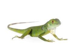 Iguana del bebé Imagenes de archivo