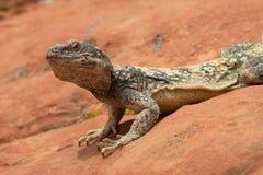 Iguana del deserto Fotografie Stock Libere da Diritti