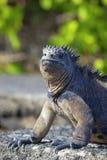 Iguana del fante di marina del Galapagos Immagini Stock