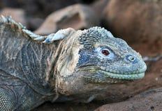 Iguana del fante di marina del Galapagos Immagine Stock