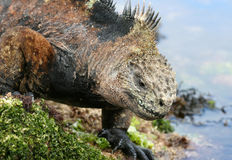 Iguana del fante di marina del Galapagos Fotografie Stock