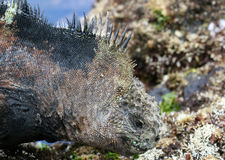 Iguana del fante di marina del Galapagos Fotografia Stock Libera da Diritti