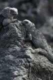 Iguana del Galapagos Fotografie Stock Libere da Diritti
