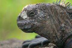 Iguana del infante de marina de las Islas Gal3apagos Imagenes de archivo