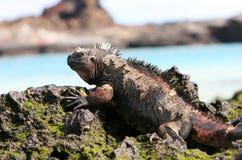 Iguana del infante de marina de las Islas Gal3apagos foto de archivo libre de regalías