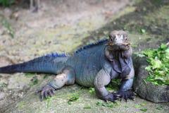 Iguana del rinoceronte Fotos de archivo