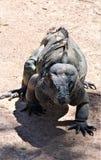 Iguana del rinoceronte foto de archivo