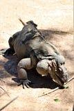 Iguana del rinoceronte fotos de archivo libres de regalías