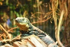 Iguana del rinoceronte (cornuta di Cyclura) Immagine Stock