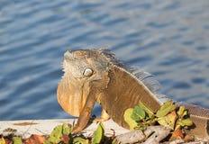 Iguana del verde del varón adulto que toma el sol en el sol Fotografía de archivo