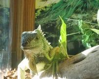 Iguana dell'animale domestico Immagini Stock Libere da Diritti