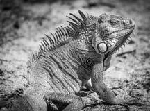 Iguana dell'iguana Immagini Stock Libere da Diritti