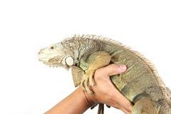 Iguana della holding Immagine Stock Libera da Diritti