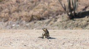 Iguana della roccia nel suo habitat naturale immagini stock libere da diritti