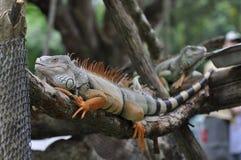 Iguana della Tailandia fotografia stock