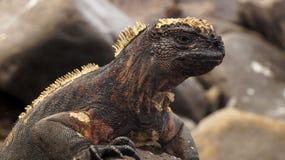Iguana della terra nell'isola di galapagos fotografia stock libera da diritti