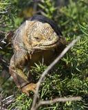 Iguana della terra nelle isole Galapagos Immagine Stock Libera da Diritti