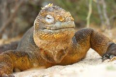 Iguana dello sbarco Immagine Stock